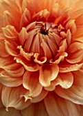 CLAUS DALBY GARDEN, DENMARK: PLANT PORTRAIT OF ORANGE, PINK GIANT DECORATIVE  DAHLIA FAIRWAY SPUR. BLOOMS, FLOWERS, BLOOMING, DAHLIAS, ABSTRACT, CLOSE UP, CENTRE