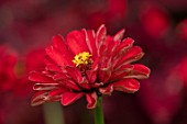 CLAUS DALBY GARDEN, DENMARK: PLANT PORTRAIT OF RED ZINNIA FLOWER - ZINNIA RED BEAUTY. FLOWERS, BLOOMS, BLOOMING, ANNUALS