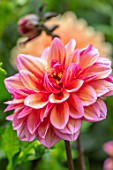 CLAUS DALBY GARDEN, DENMARK: PLANT PORTRAIT OF ORNAGE, PINK, FLOWERS OF DAHLIA LADY JILL. TUBERS, TUBEROUS, DAHLIAS, FLOWERING, BLOOMS, BLOOMING