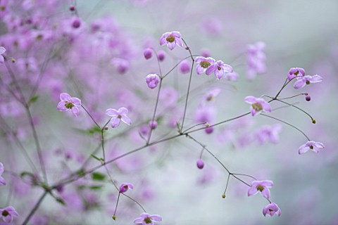 CLAUS_DALBY_GARDEN_DENMARK_PLANT_PORTRAIT_OF_THALICTRUM_DELAVAYI_HEWITTS_DOUBLE_MEADOW_RUE_PINK_PURP