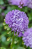 CLAUS DALBY GARDEN, DENMARK: PLANT PORTRAIT OF THE BLUE, PURPLE FLOWERS OF CALLISTEPHUS CHINENSIS TOWER VIOLET. CHINA ASTER