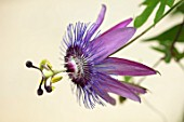 CLAUS DALBY GARDEN, DENMARK: PLANT PORTRAIT OF PASSIFLORA X VIOLACEA - PASSION FLOWERS. PINK, PURPLE, CLIMBING, CLIMBERS, SHRUBS