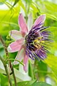 CLAUS DALBY GARDEN, DENMARK: PLANT PORTRAIT OF PASSIFLORA X CAPONII - PASSION FLOWERS. PINK, PURPLE, CLIMBING, CLIMBERS, SHRUBS