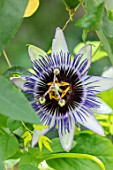 CLAUS DALBY GARDEN, DENMARK: PLANT PORTRAIT OF PASSIFLORA X CAERULEA - PASSION FLOWERS. PINK, PURPLE, CLIMBING, CLIMBERS, SHRUBS