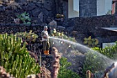 JARDIN DE CACTUS, LANZAROTE, CANARY ISLANDS: DESIGNER CESAR MANRIQUE - GARDENER WATERING CACTUS IN EARLY MORNING