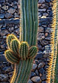 JARDIN DE CACTUS, LANZAROTE, CANARY ISLANDS: DESIGNER CESAR MANRIQUE - CLOSE UP OF CACTUS. CACTI, SUCCULENTS, SUMMER, PRICKLY, SPIKEY, SPIKES