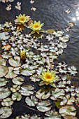JARDIN DE CACTUS, LANZAROTE, CANARY ISLANDS: DESIGNER CESAR MANRIQUE - WATER LILIES IN THE POOL, POND, WATERLILIES, YELLOW, FLOWERS