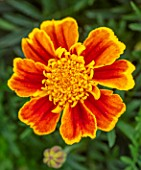 ASTON POTTERY, OXFORDSHIRE: CLOSE UP PLANT PORTRAIT OF YELLOW, ORANGE, FLOWERS OF TAGETES X ERECTA CHAMELEON. MARIGOLD, BLOOMS, BLOOMING, SUMMER, ANNUALS