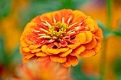 ASTON POTTERY, OXFORDSHIRE: CLOSE UP PLANT PORTRAIT OF ORANGE, FLOWERS OF ZINNIA ELEGANS SUPER YOGA SERIES, SUPER YOGA ORANGE, BLOOMS, BLOOMING, SUMMER, ANNUALS
