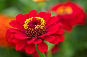 ASTON POTTERY, OXFORDSHIRE: CLOSE UP PLANT PORTRAIT OF RED, YELLOW, FLOWERS OF ZINNIA ELEGANS SUPER YOGA SCARLET, BLOOMS, BLOOMING, SUMMER, ANNUALS