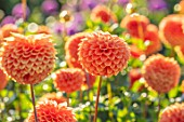 AYLETTS NURSERIES, HERTFORDSHIRE: PLANT PORTRAIT OF THE ORANGE FLOWERS OF DAHLIA RUTH ANN. BLOOMING, TANGERINE