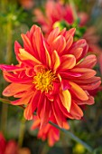 AYLETTS NURSERIES, HERTFORDSHIRE: PLANT PORTRAIT OF THE ORANGE FLOWERS OF DAHLIA JESCOT JULIE. DOUBLE ORCHID FLOWERED, NAMED FOR JULIE AYLETT IN 1974