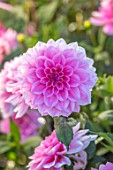 AYLETTS NURSERIES, HERTFORDSHIRE: CLOSE UP PLANT PORTRAIT OF THE PINK FLOWERS OF DAHLIA PEARL OF HEEMSTEDE