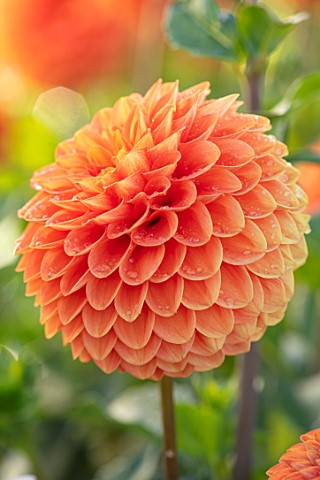 AYLETTS_NURSERIES_HERTFORDSHIRE_PLANT_PORTRAIT_OF_THE_ORANGE_FLOWERS_OF_DAHLIA_RUTH_ANN_BLOOMING_TAN