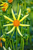 AYLETTS NURSERIES, HERTFORDSHIRE: PLANT PORTRAIT OF THE YELLOW FLOWERS OF DAHLIA HONKA. BLOOMING. STAR FLOWERED