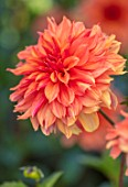 AYLETTS NURSERIES, HERTFORDSHIRE: PLANT PORTRAIT OF THE ORANGE FLOWERS OF DAHLIA FINCHCOCKS. BLOOMING