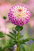 AYLETTS NURSERIES, HERTFORDSHIRE: CLOSE UP PLANT PORTRAIT OF THE PINK, CREAM, WHITE FLOWERS OF DAHLIA FORMBY ART. SMALL DECORATIVE