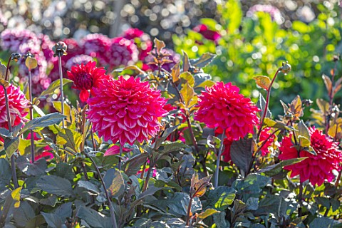 AYLETTS_NURSERIES_HERTFORDSHIRE_CLOSE_UP_PLANT_PORTRAIT_OF_THE_RED_FLOWERS_OF_DAHLIA_SUFFOLK_PUNCH_M