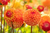 AYLETTS NURSERIES, HERTFORDSHIRE: CLOSE UP PLANT PORTRAIT OF THE ORANGE FLOWERS OF DAHLIA MS KENNEDY. LARGE POMPON