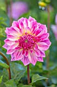 AYLETTS NURSERIES, HERTFORDSHIRE: CLOSE UP PLANT PORTRAIT OF THE PINK FLOWERS OF DAHLIA AUDACITY. MEDIUM FLOWERED DECORATIVE