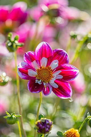 AYLETTS_NURSERIES_HERTFORDSHIRE_CLOSE_UP_PLANT_PORTRAIT_OF_THE_WHITE_RED_YELLOW_FLOWERS_OF_DAHLIA_BL