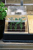 YOUNG PLANTS IN PROPAGATOR IN GREENHOUSE. DESIGNER: NIGEL COLBORN.