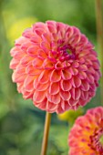 AYLETTS NURSERIES, HERTFORDSHIRE: PLANT PORTRAIT OF THE PALE PINK, PEACH FLOWERS OF DAHLIA L.A.T.E. BLOOMING, MINIATURE BALL