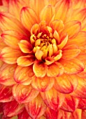 AYLETTS NURSERIES, HERTFORDSHIRE: CLOSE UP PLANT PORTRAIT OF THE ORANGE, YELLOW FLOWERS OF DAHLIA HILLCREST FIRECREST. SMALL, DECORATIVE, 2017, FLOWERING