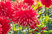 AYLETTS NURSERIES, HERTFORDSHIRE: CLOSE UP PLANT PORTRAIT OF THE RED FLOWERS OF DAHLIA KILBURN GLOW. WATERLILY DAHLIA