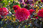 AYLETTS NURSERIES, HERTFORDSHIRE: CLOSE UP PLANT PORTRAIT OF THE RED FLOWERS OF DAHLIA SUFFOLK PUNCH. MEDIUM FLOWERED DECORATIVE