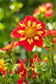 AYLETTS NURSERIES, HERTFORDSHIRE: CLOSE UP PLANT PORTRAIT OF THE YELLOW, RED FLOWERS OF DAHLIA POOH. COLLERETTE DAHLIA
