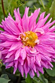 AYLETTS NURSERIES, HERTFORDSHIRE: CLOSE UP PLANT PORTRAIT OF THE PINK, YELLOW FLOWERS OF DAHLIA SIR ALF RAMSEY. GIANT FLOWERED DECORATIVE