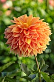 AYLETTS NURSERIES, HERTFORDSHIRE: CLOSE UP PLANT PORTRAIT OF THE ORANGE FLOWERS OF DAHLIA MABEL ANN. GIANT FLOWERED DAHLIA