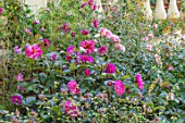 PASHLEY MANOR GARDEN, SUSSEX: LAWN, COOL BORDER IN PINK: DAHLIA ART NOUVEAU, ROSE - ROSA BONICA. FLOWERS, FLOWERING, SUMMER, BORDERS