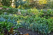 PASHLEY MANOR GARDEN, SUSSEX: THE VEGETABLE GARDEN IN SEPTEMBER. LEEK SPRINTAN F1, LEKEK NORTHERN LIGHTS. POTAGER, KITCHEN, GARDENS