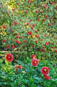 PASHLEY MANOR GARDEN, SUSSEX: PLANT ASSOCIATION, COMBINATION OF ROSE HIPS AND DAHLIA DUTCH CARNIVAL. RED, YELLOW, GOLD, FLOWERS, FLOWERING, SEPTEMBER