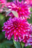 PASHLEY MANOR GARDEN, SUSSEX: PLANT PORTRAIT OF THE PINK FLOWERS OF DAHLIA ART NOUVEAU. DAHLIAS, TUBEROUS, PERENNIALS
