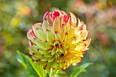 PASHLEY MANOR GARDEN, SUSSEX: PLANT PORTRAIT OF THE RED, YELLOW FLOWERS OF DAHLIA LADY DARLENE. DAHLIAS, TUBEROUS, PERENNIALS