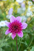 PASHLEY MANOR GARDEN, SUSSEX: CLOSE UP PLANT PORTRAIT OF THE PINK FLOWERS OF DAHLIA BLUE BAYOU. DAHLIAS, TUBEROUS, PERENNIALS