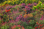 ASTON POTTERY, OXFORDSHIRE: HILLSIDE, SEPTEMBER - DAHLIAS, SALVIAS, CANNAS, HELIANTHUS LEMON QUEEN, PENSTEMON, AGASTACHE, PERENNIALS, HOT COLOURS, YELLOW, RED, FLOWERING, FLOWERS