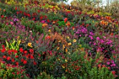 ASTON POTTERY, OXFORDSHIRE: HILLSIDE, SEPTEMBER - DAHLIAS, CANNAS, RICINUS, SALVIAS, AGASTACHE, PERENNIALS, HOT COLOURS, YELLOW, RED, FLOWERING, FLOWERS
