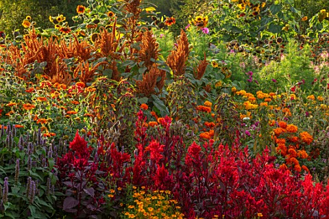 ASTON_POTTERY_OXFORDSHIRE_ANNUAL_BORDER_IN_SEPTEMBER_CELOSIA_SCARLET_PLUME_TAGETES_TITHONIA_AMARANTH