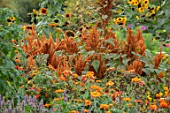 ASTON POTTERY, OXFORDSHIRE: ANNUAL BORDER IN SEPTEMBER. AMARANTHUS HOT BISCUITS, MARIGOLDS, SUNFLOWERS. ANNUALS, BORDERS