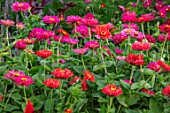 ASTON POTTERY, OXFORDSHIRE: ANNUAL BORDER IN SEPTEMBER. ZINNIA STATE FAIR. ANNUALS, BORDERS