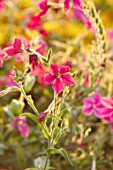 ASTON POTTERY, OXFORDSHIRE: CLOSE UP PLANT PORTRAIT OF PINK FLOWERS OF NICOTIANA ALATA SENSATION, MIXED COLOURS BLOOMS, BLOOMING, SUMMER, ANNUALS