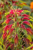 ASTON POTTERY, OXFORDSHIRE: CLOSE UP PLANT PORTRAIT OF RED, GREEN, YELLOW FOLIAGE OF AMARANTHUS TRICOLOR TRICOLOR SPLENDENS PERFECTA. BLOOMS, BLOOMING, SUMMER, ANNUALS