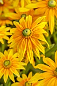 ASTON POTTERY, OXFORDSHIRE: CLOSE UP PLANT PORTRAIT OF YELLOW, GREEN FLOWERS OF RUDBECKIA HIRTA IRISH EYES. BLOOMS, BLOOMING, SUMMER, ANNUALS