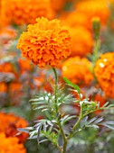 ASTON POTTERY, OXFORDSHIRE: CLOSE UP PLANT PORTRAIT OF ORANGE FLOWERS OF AFRICAN MARIGOLD - TAGETES ERECTA CRACKERJACK MIXED. BLOOMS, BLOOMING, SUMMER, ANNUALS