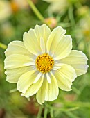 ASTON POTTERY, OXFORDSHIRE: CLOSE UP PLANT PORTRAIT OF YELLOW, WHITE FLOWERS OF COSMOS BIPPINATUS XANTHOS, BLOOMING, SUMMER, ANNUALS
