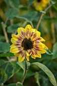 MORTON HALL, WORCESTERSHIRE: PLANT PORTRAIT OF UNNAMED HELIANTHUS HYBRID. YELLOW, BROWN, FLOWERS, ANNUALS, FALL, FLOWERING